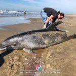 Golfinho localizado morto em Balneário Arroio do Silva