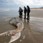 Filhote de baleia franca em decomposição é encontrado no Arroio